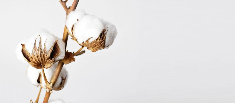 Baumwollzweig mit Blüte auf weißem Hintergrund